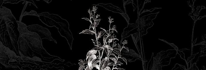 Das Nachtschattengewächs, das die Sonne braucht: Nicotiana
