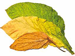 Farben der Tabakblätter während der Fermentation