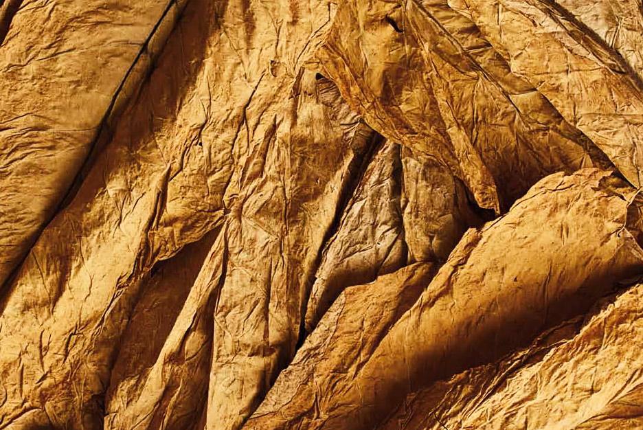 Tabakblätter einer Tabakpflanze