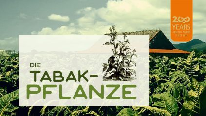 Die Tabakpflanze