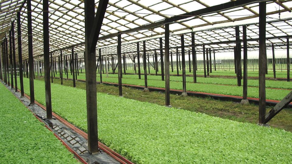 Ein Gewächshaus in Ecuador zur Aufzucht von Tabakpflanzen
