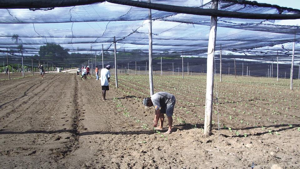 Vorgezogene Tabak-Setzlinge werden ausgepflanzt