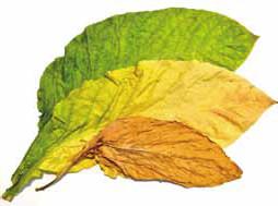 Tabakblätter während der Fermentation