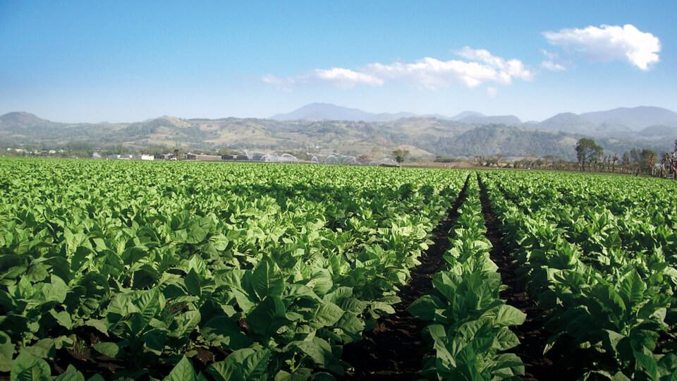 Ein Tabakfeld in der Dominikanischen Republik
