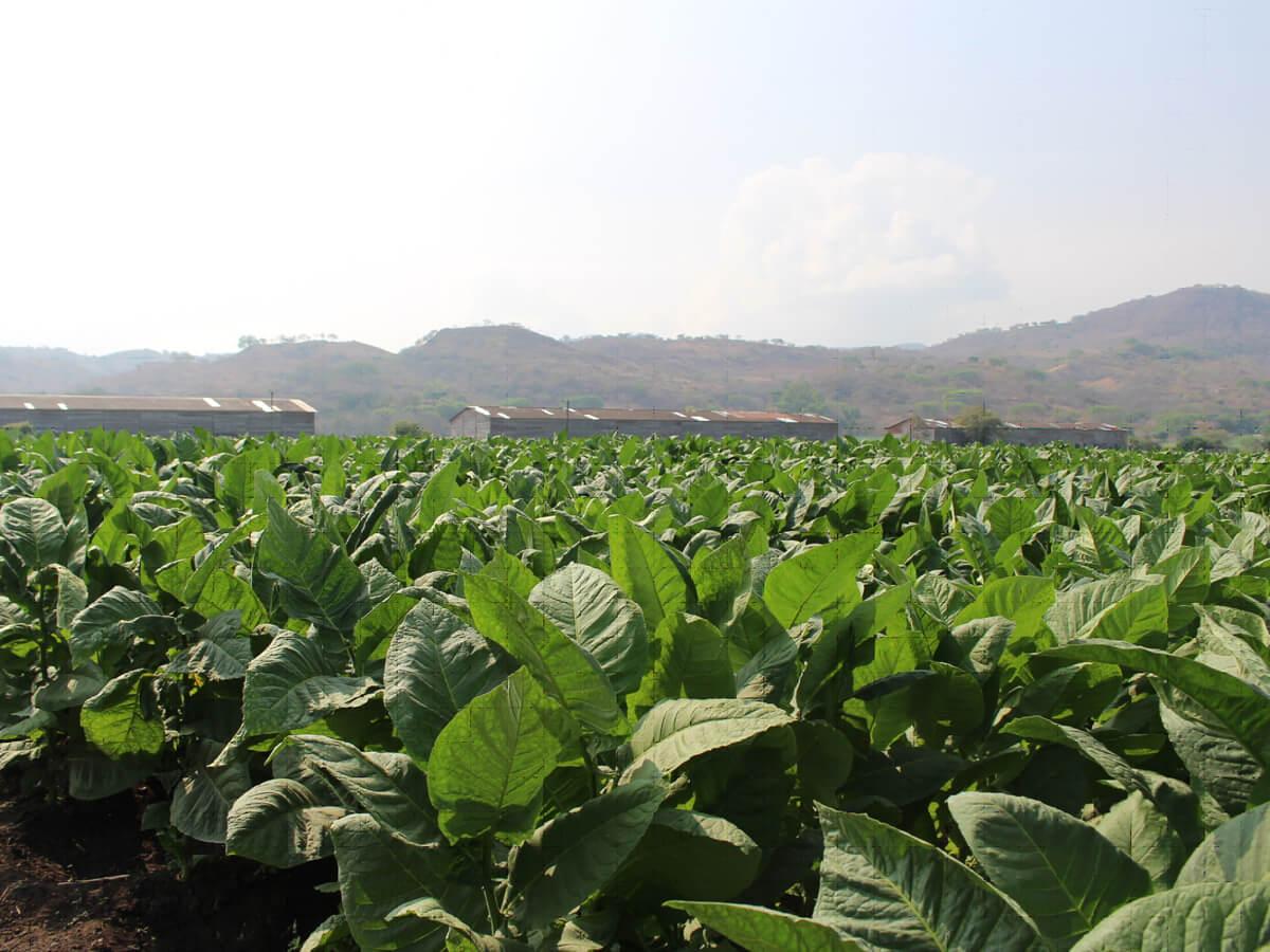 Tabakfeld in Nicaragua