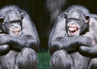Affen lachen
